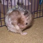 27 Penyakit yang sering menyerang binatang hamster