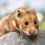 Mengenal 6 jenis hamster paling populer di indonesia