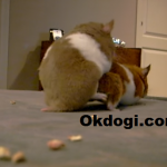Cara praktis mengawinkan hamster dan terbukti berhasil