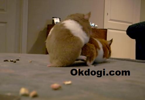 cara mengawinkan hamster