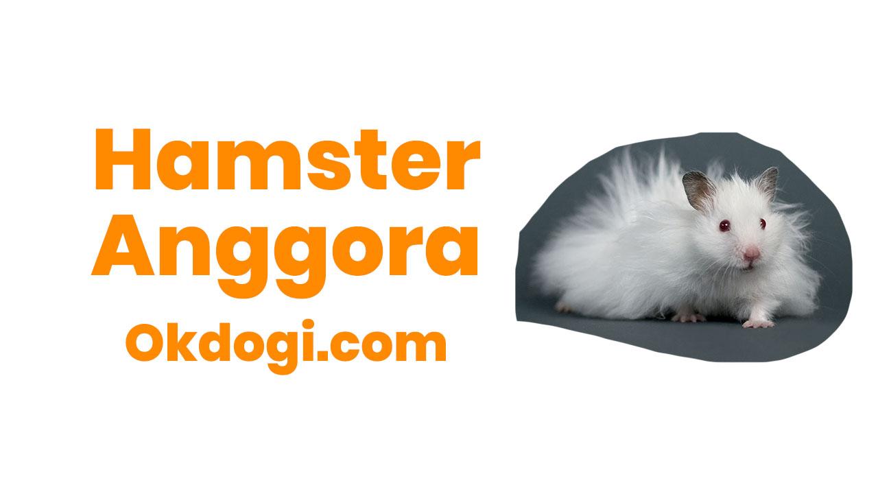Mari Lebih Mengenal Hamster Anggora Okdogi Com