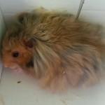 Mari lebih mengenal hamster anggora