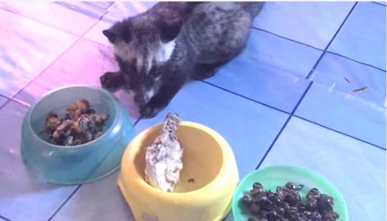 makanan musang