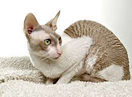 Ras kucing cornish rex