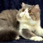 Mari mengenal kucing persia peaknose!