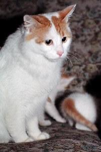 Ras kucing Anatolian