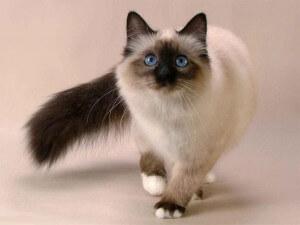 Ras kucing balinese