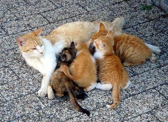 ciri kucing mau melahirkan