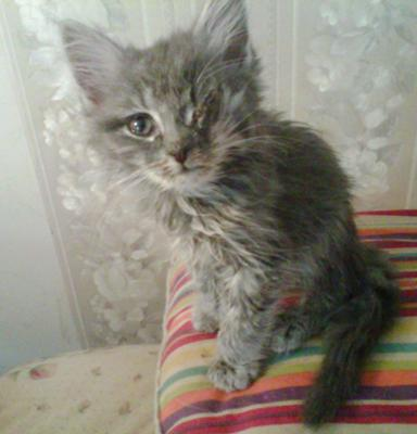 feline distemper pada kucing