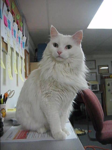 kucing anggora 2