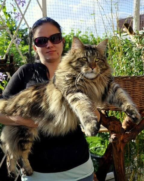 kucing maine coon 4