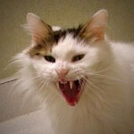 4 Ciri menandakan kucing terkena rabies