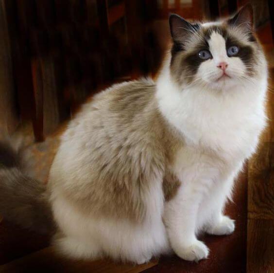 kucing ragdoll 2