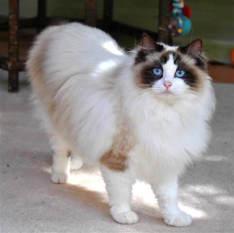 kucing ragdoll