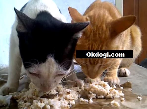 makanan nasi untuk kucing