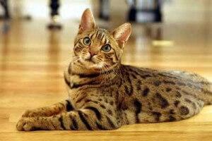 Ras kucing Ocicat