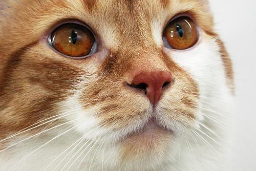 penyakit mata kucing