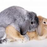 Pelajari langkah awal untuk mengawinkan kelinci