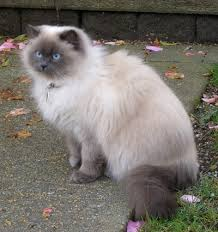 Ras kucing Himalaya