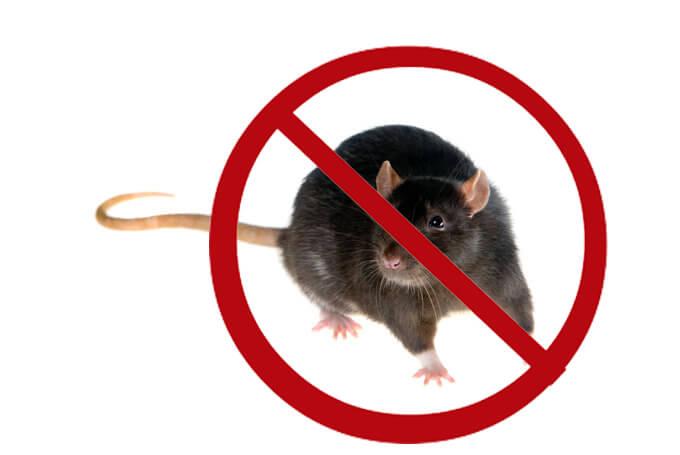Juahkan bayi kelinci dari tikus