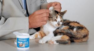 membersihkan telinga kucing