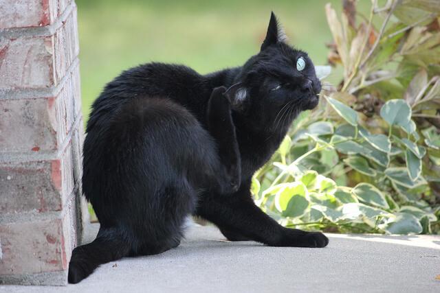 Kucing menggaruk dirinya sendiri