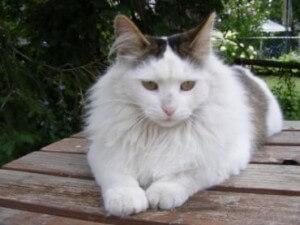 Ras kucing angora