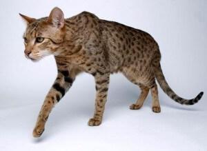 Ras kucing ashera