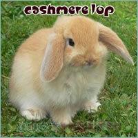 cashmere lop