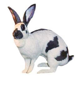 checreked rabbit