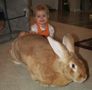 Flemsih giant rabbit