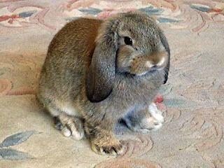 3 Jenis Kelinci Raksasa Terbesar di Dunia