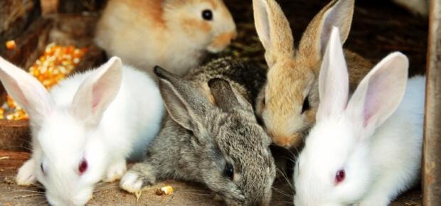 jenis kelinci