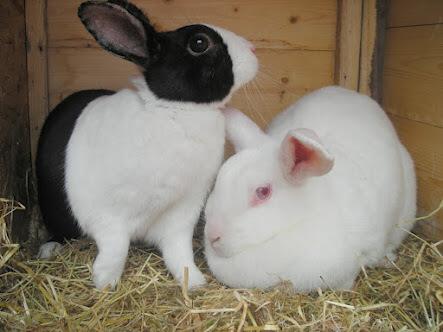 kelinci hamil