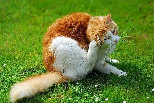 kucing kutuan