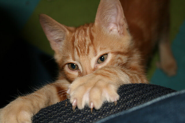 kucing mencakar perabotan
