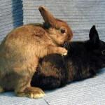 Membedah perbedaan kelinci jantan dan kelinci betina, lengkap!