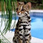 Binatang fantastis! ayo mengenal kucing bengal