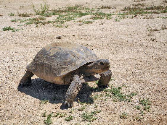Kura-kura Desert tortoise