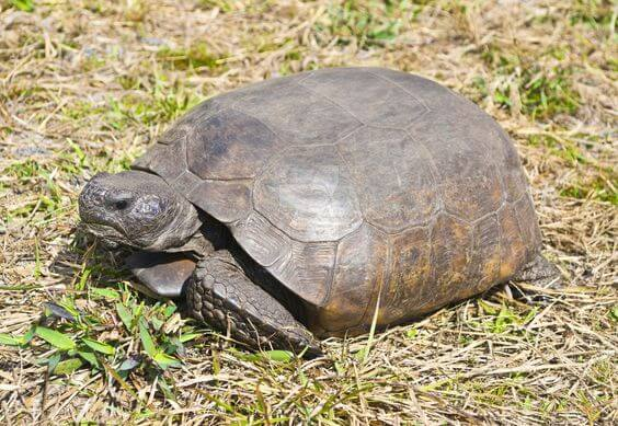 Kura-kura Gopher Tortoise