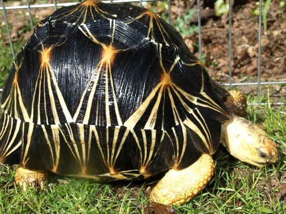 Kura-kura Radiated Tortoise
