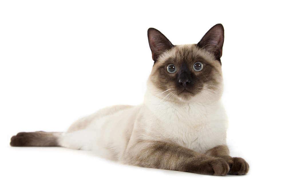 Kucing siamese tradisional