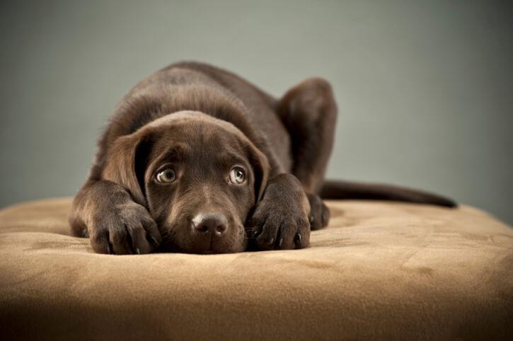 anjing penakut