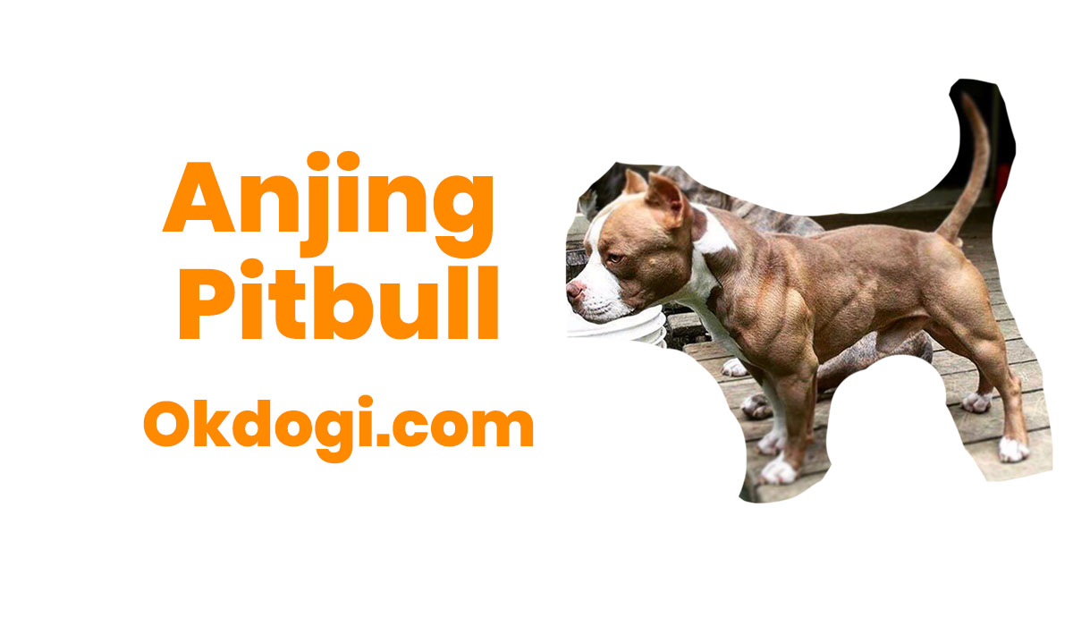 Anjing Pitbull : Perawatan, Profil dan Harga Terbaru