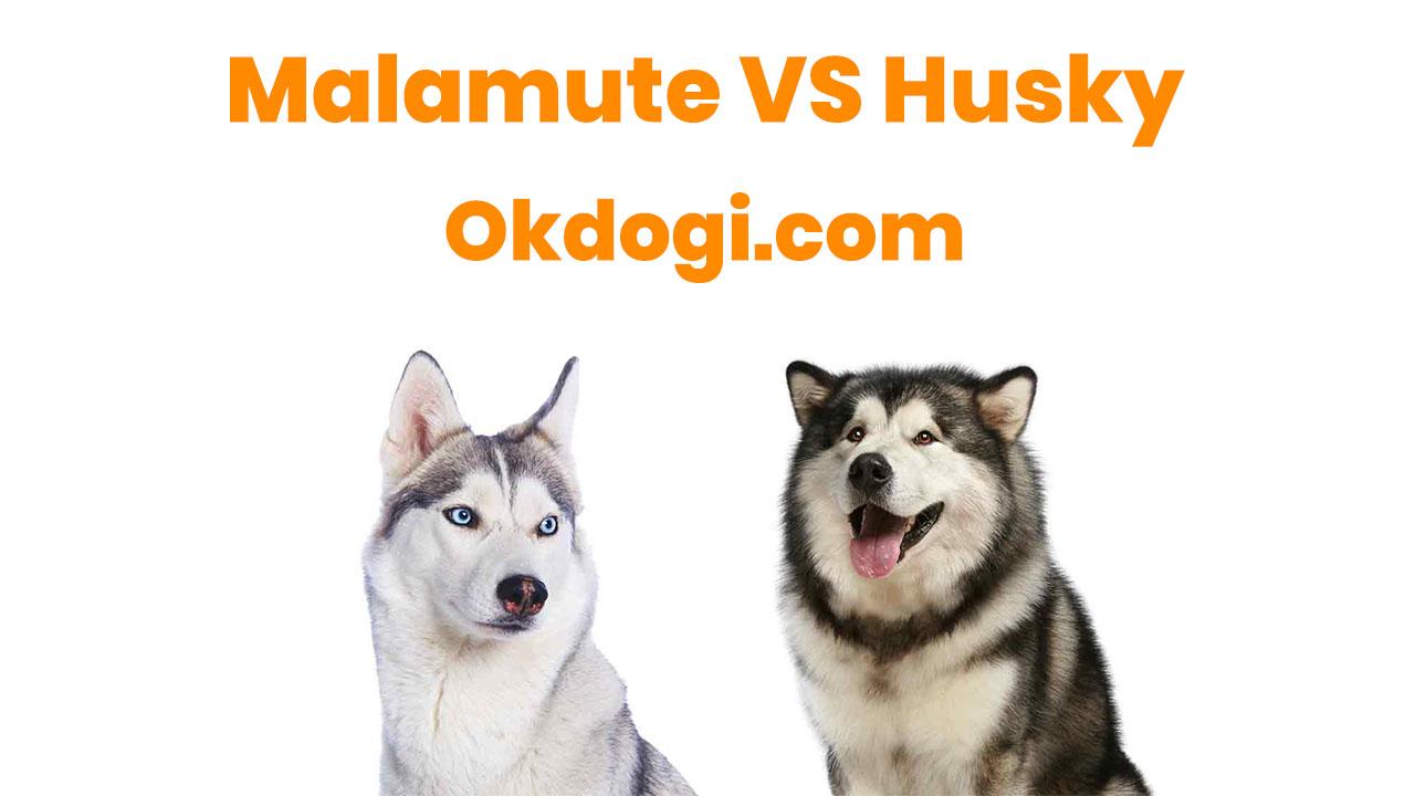 anjing siberian husky vs malamute