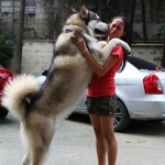 Perawatan eksklusif untuk anjing siberian husky