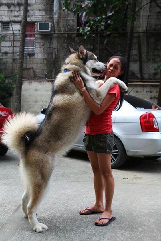 cara merawat siberian husky