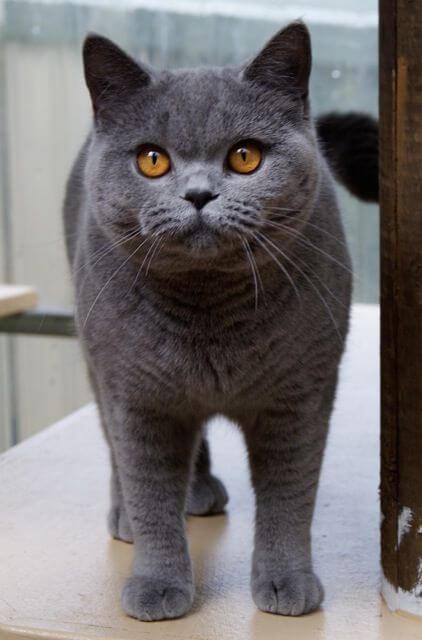 Kucing British Shorthair Harga Ciri Dan Perawatan