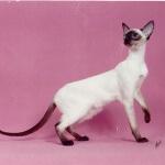 Profil kucing siamese, si lucu dari thailand