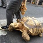 11 Jenis kura-kura darat yang bisa dijadikan peliharaan